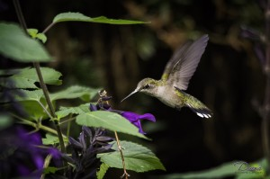 Hummingbird Cooper Captures